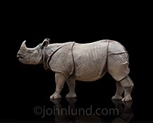 This rhino stands on a glossy black surface in an elegant studio rhinoceros portrait and stock photo.
