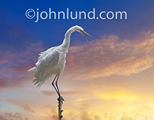An Egret has ruffled feathers in a funny animal and bird stock photo created for greeting card and advertising uses.