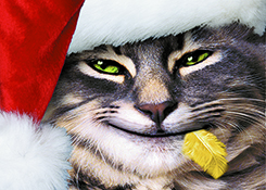 A funny cat wears a Santa Hat and has a canary feather in his mouth in a humorous Christmas and greeting card stock photo.