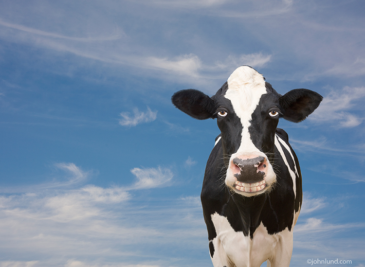 Funny cow smiling - photo#6