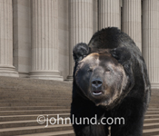 A huge bear stares menacingly at the viewer in this picture of a bear in a setting reminiscent of wall street and the business markets.
