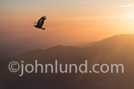 An eagle soas through the sky at dusk in this image about freedom, success, skill and opportunity. The image has an inherent visual interest due to both the nature of the subject matter and the high angle view point.