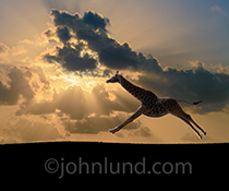 A giraffe gallops across the savannah at sunset in a whimsical concept stock photo about freedom, journeys, and the joy of being.