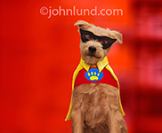 An endearing pooch looks at the viewer from behind his mask while wearing a super hero cape with a dog paw symbol on his spandex costume in a funny dog picture created for use as a humorous greeting card.