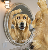 In a funny dog greeting card and stock image a Golden Retreiver looks in the mirror and plucks a single gray hair from his head.