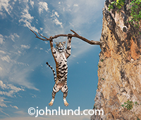 A tiger with a forlorn expression hangs on a tree branch on the side of a steep cliff in need of assistance with his risky predicament.