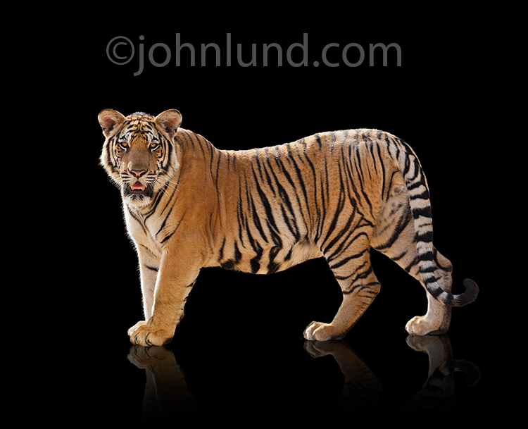A beautiful tiger stands on a black background and looks directly at the viewer in a stock photo for ideas, issues and concerns surrounding tigers.