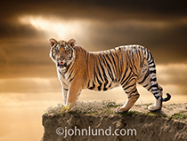 A Bengal tiger stands on a cliff looking directly at the viewer in this dramatic and majestic image of a big cat.