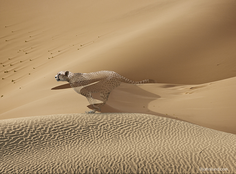 A cheetah races across a sand dune as he begins to fade away in a powerful visual about loss of habitat, species extinction, and environmental issues dealing with wildlife.