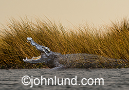 This image of a crocodile fading away into the marsh grasses on a river bank is an environmental issues stock photo about the many vanishing species.