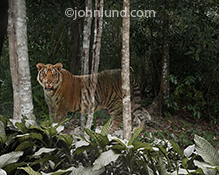 In a jungle setting, a tiger fades away in a photo about extinction issues, environmental concerns, vanishing species, and responsible custodianship of natural resources.