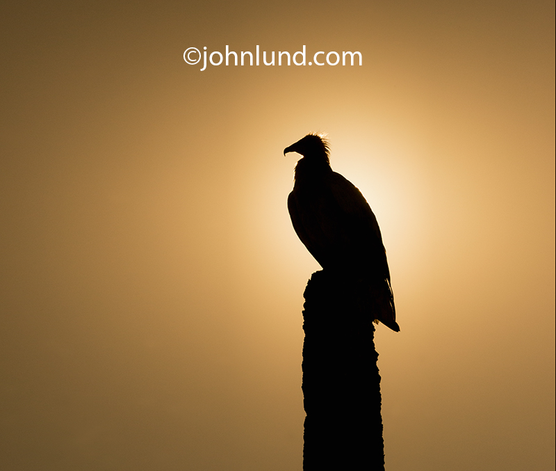 An Egyptian vulture sits on a pole against the morning sun on the Yemeni island of Socotra.