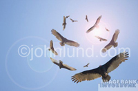 Vultures circle overhead in front of the sun symbolizing danger, impending doom and developing crisis. Picture of circularing vultures.