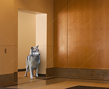 A wolf stands in the doorway of a corporate lobby in a stock photo about risk, danger, adversity and challenge.