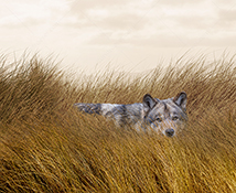 A wolf lurks in tall grass as it stalks its prey in a  stock photo about danger, risk, and adversity.