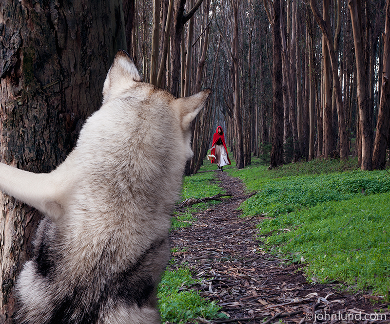 the big bad wolf watching little red riding hood