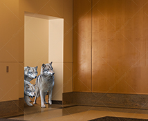 A pack of wolves stand at the door to a corporate lobby in a stock photo about the risks, dangers and challenges facing businesses today.