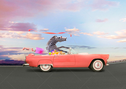 A funny Zebra drives a convertible sports car in a humorous greeting card image and stock photo.