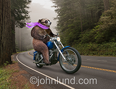 A bear rides a motorcycle on a road through the woods or forest in this funny stock photo that just begs for humorous caption.