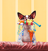 A birthday chihuahua, this little guy has his mouth chock full of gifts and party favors...a party animal indeed!