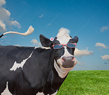 A happy Holstein cow wears a pair of sunglasses in this funny cow stock photo.