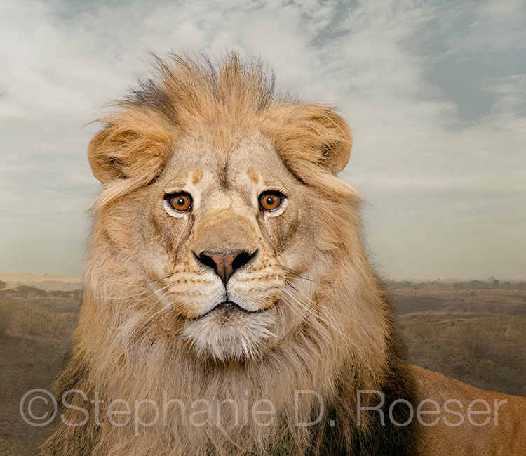 A lion looks alert and happy, almost smirking, in this stock shot portrait of the King of Beasts.