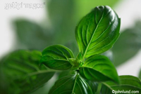 Close up picture of basil leaves. Bright green leaves of basil which is used for cooking with all kinds of food. Pizza, pasta, Asian cooking, Italian cooking etc.