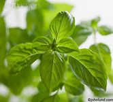 A full frame of gorgeous basil leaves clean and green. Basil is often referred to as the