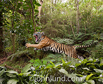 A tiger leaps through a jungle in this stock photo of a big cat in action.