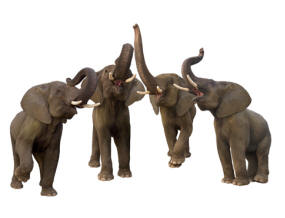 A hilarious photograph of a group of elephants singing in a chorus. For imprinting on sweatshirts