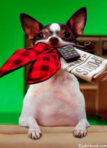 Stock photo and funny animal picture of a Chihuahua with his mouth full of goodies for Dad on father's day