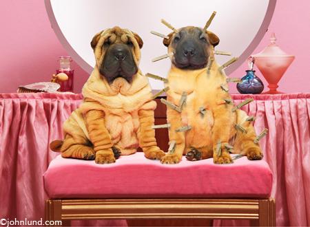 Funny animal picture of two Charpei puppies for printing on a ladies golf shirt...or mens golf shirt.