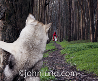 The big bad wolf hides behind a tree wand watches little red riding hood approach through the woods in this funny fairy tale picture.