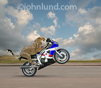 The fastest animal, a Cheetah, pops a wheelie on a motorcycle in metaphorical photo illustrating the concepts of fast starts, speed and daring skills.