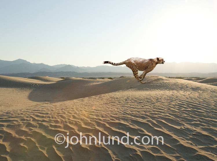 A Cheetah racing across desert sands is a metaphor for speed and quickness for both business and life.