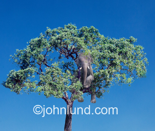 An elephant is hiding in a large tree with green leaves and a dark blue cloudless sky in an image inspried by elephant jokes.
