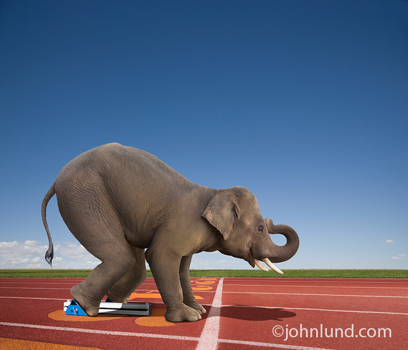 Funny elephant in a sprinter's crouch in starting blocks about to race down a track.