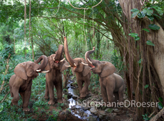 An Elephant Quartet: Four elephants stand in a line and sing together in a rain forest, trunks raised up in unison.