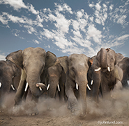 Picture of a herd of  Indian Elephants stampeding towards the camera, kicking up dust,  with a blue sky background with scattered whispy clouds.