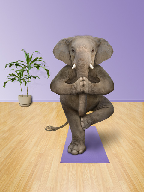 Funny picture and stock photo of an elephant practicing yoga positions for custom printing on a golf shirt