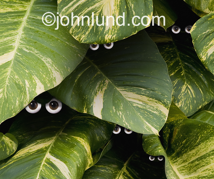 Beneath the tropical foliage five sets of eye balls peer out, watching in this humorous and yet unnerving photo.