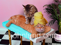 Massage Cats - Funny cat Picture of one kitty giving another a massage, on a massage table, in a spa or salon setting. This really funny animal photo makes a great gift or print for any pet owner.