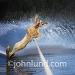 Dog (bloodhound) water skiing using a slalom ski and throwing up a sizable wake.