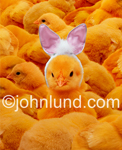 Funny picture of one chic wearing easter bunny ears and standing out from a crowd of bright yellow siblings (brothers and sisters).