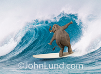 An elephant stands on a long board and rides in a large wave off the coast of Maui in this funny elephant picture and concept stock photo.