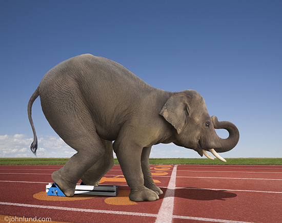 Picture of An elephant in the starting blocks on a track and ready to sprint to the finish of a race in a funny elephant picture.