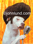 Stock photo of a bulldog Impersonating Elvis Complete With Microphone, big hair, and lifted upper lip. Picture of dog singing as Elvis.