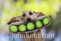 A Golden Retriever has a mouthful of five, yes five, tennis balls at once in this funny dog photo.