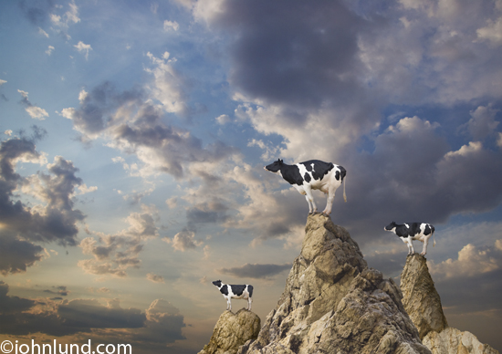 Funny-Holstein-Cow-Pictures.jpg