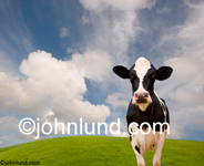 A picture of a Holstein dairy cow standing on a green grass-covered hillside looking contented as she chews her cud. Happy cud chewing cow.